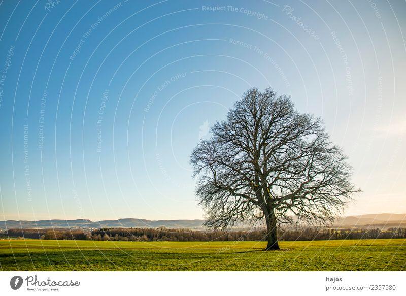 Alte Eiche im Herbst Meditation Rauch alt natürlich Kraft Inspiration kahl hernst Wiese grün Himmel blau Panorama (Bildformat) Schwäbische Alb Deutschland