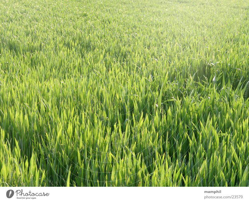 Grünes Kornfeld grün Gras Landwirtschaft