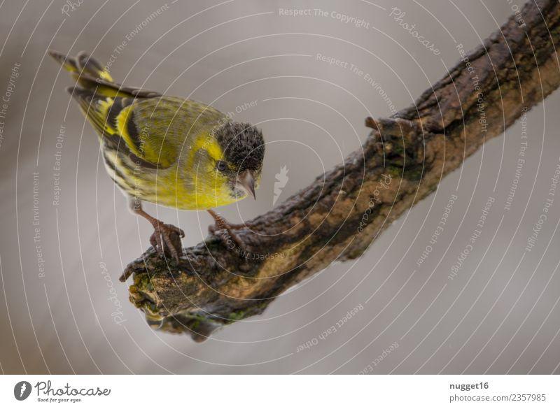 Erlenzeisig auf Ast Umwelt Natur Tier Frühling Sommer Herbst Winter Schönes Wetter Pflanze Baum Garten Park Wiese Feld Wald Wildtier Vogel Tiergesicht Flügel