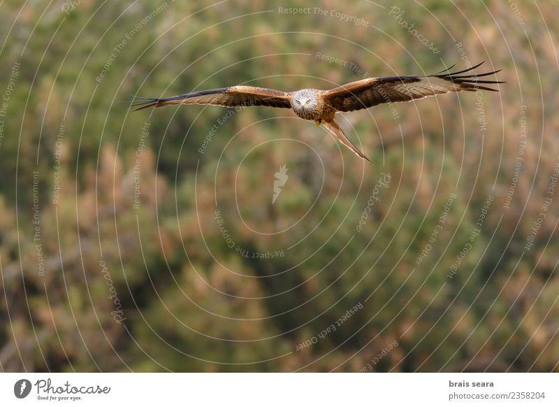 Rotmilan schön Freiheit Sommer Umwelt Natur Tier Luft Himmel Sonne Herbst Winter Baum Gras Feld Wald Wildtier Vogel Flügel 1 fliegen frei natürlich wild blau