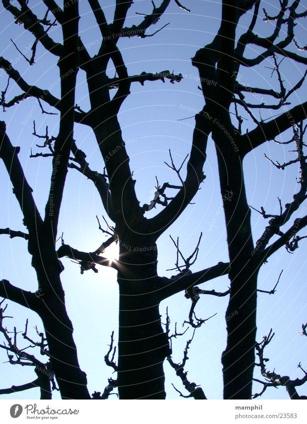 Erleuchteter Apfelbaum Baum Apfelbaum Sonne Himmel Ast Äste Gegenlicht blau Baumschnitt x