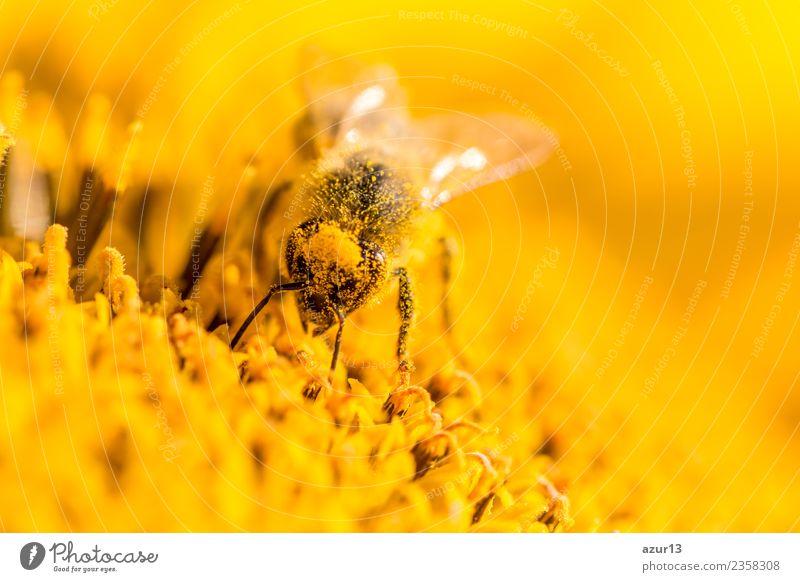 Makro Honig Biene sammelt gelbe Pollen auf Kopf in Sonnenblume Natur Pflanze Sommer schön Blume Tier ruhig Freude Wärme Leben Gesundheit Umwelt Blüte Frühling