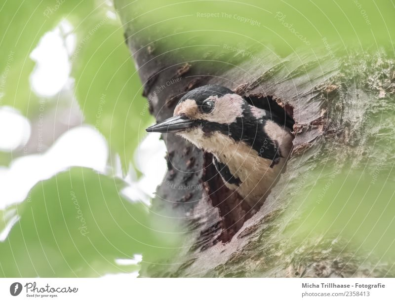Buntspecht in der Nisthöhle Natur grün weiß Sonne Baum Tier Wald schwarz gelb Umwelt Auge Vogel Wildtier Aussicht Feder beobachten