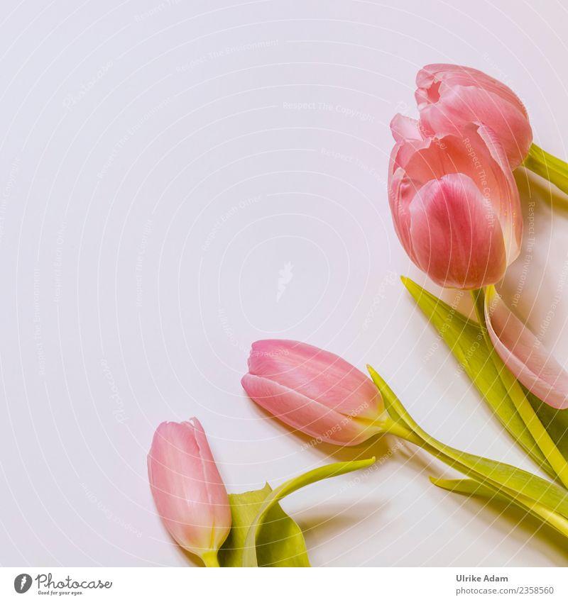 Rosa Tulpen im Quadrat Design Wellness Leben harmonisch Wohlgefühl Zufriedenheit Erholung ruhig Meditation Spa Osterkarte Postkarte Hintergrundbild Muster