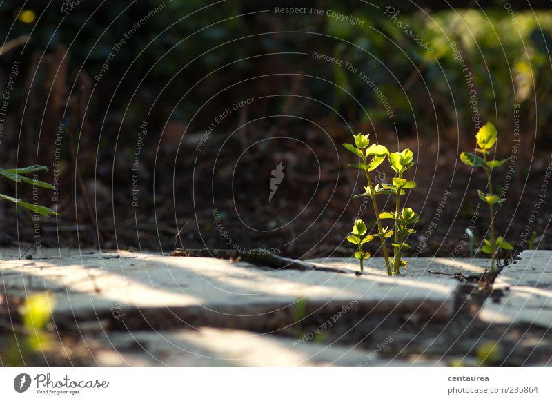 Morgenstimmung Natur grün Pflanze Blatt klein Wachstum Wildpflanze Steinplatten