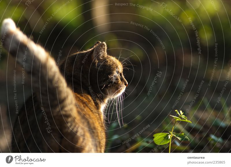 Morgens im Garten Tier Haustier Katze Tiergesicht Pfote 1 stehen warten braun grün Gelassenheit ruhig Farbfoto Außenaufnahme Textfreiraum rechts Herumtreiben
