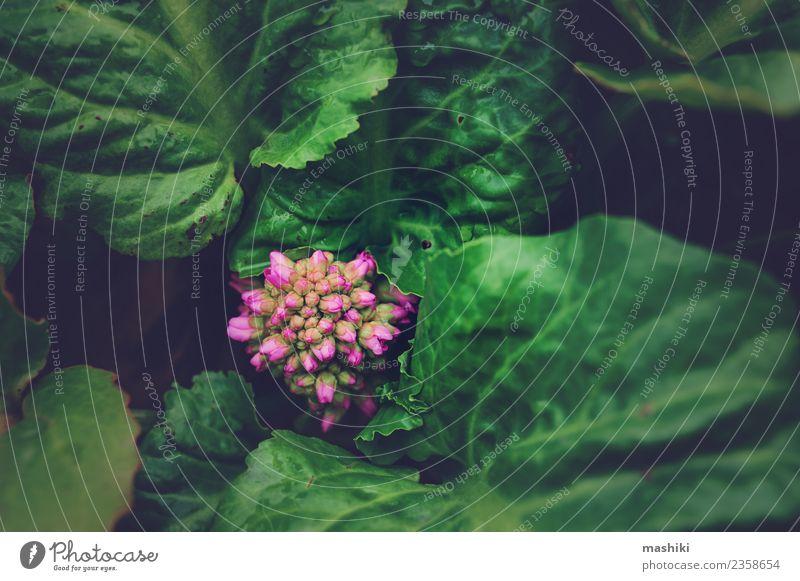 Bergenia crassifolia Nahaufnahme Freizeit & Hobby Garten Natur Pflanze Blume Blatt glänzend Wachstum frisch nass natürlich grün Steinbrech Frühling sprießen