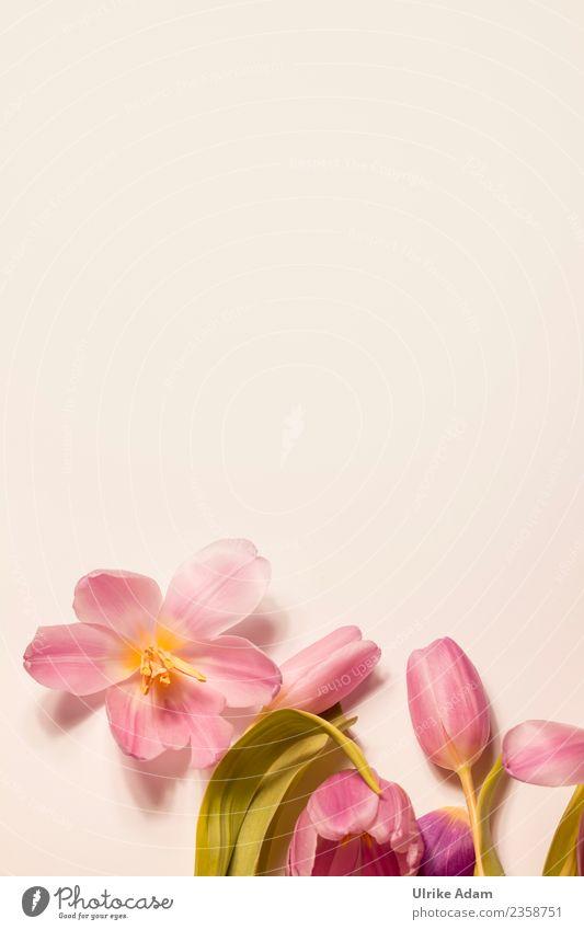 Rosa Tulpenblüten Natur Pflanze Blume Erholung ruhig Leben Hintergrundbild Blüte Frühling Liebe Feste & Feiern rosa Design Zufriedenheit Dekoration & Verzierung