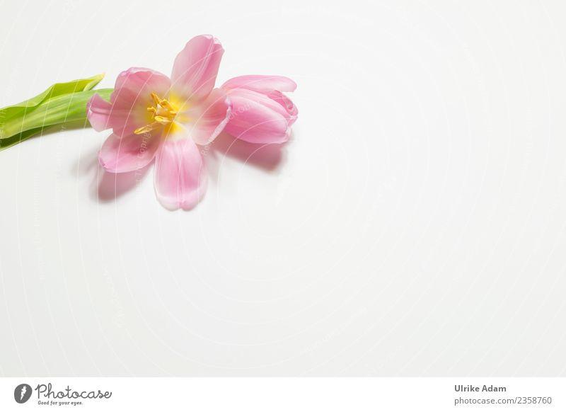 Rosa Tulpe - Grußkarte elegant Design Wellness Leben harmonisch Wohlgefühl Zufriedenheit Erholung ruhig Meditation Duft Spa Postkarte Muster Hintergrundbild