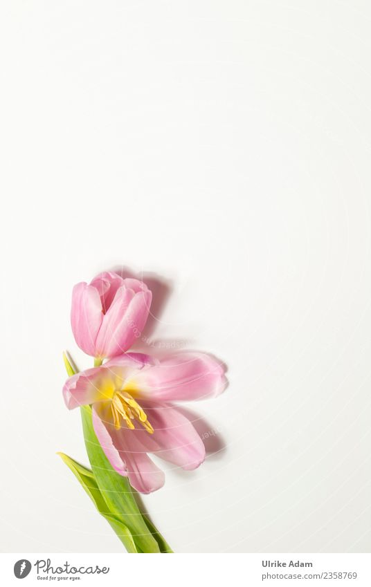 Rosa Tulpe - Grußkarte elegant Design Wellness Leben harmonisch Wohlgefühl Zufriedenheit Erholung ruhig Meditation Spa Hintergrundbild Muster Postkarte