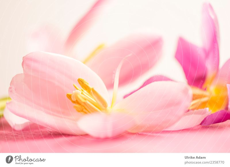 Wellness mit rosa Tulpenblüten elegant Design schön Leben harmonisch Wohlgefühl Erholung Meditation Spa Massage Postkarte Hintergrundbild Muster Osterkarte