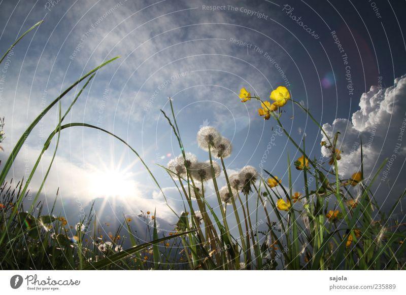 butter- und pusteblumen! Umwelt Natur Pflanze Himmel Sonne Frühling Blume Hahnenfuß Löwenzahn Wiese leuchten ästhetisch blau gelb Farbfoto Außenaufnahme