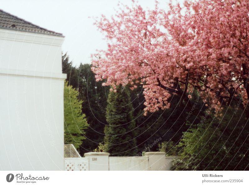 Im Frühling Natur weiß grün Baum Haus Wand Frühling Garten Mauer Tür Fassade rosa Häusliches Leben Schönes Wetter analog Duft