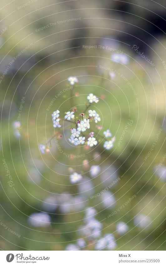 Vergissmeinnicht Umwelt Pflanze Frühling Sommer Blume Blatt Blüte Blühend Duft Wachstum blau Vergißmeinnicht Farbfoto Außenaufnahme Nahaufnahme Menschenleer