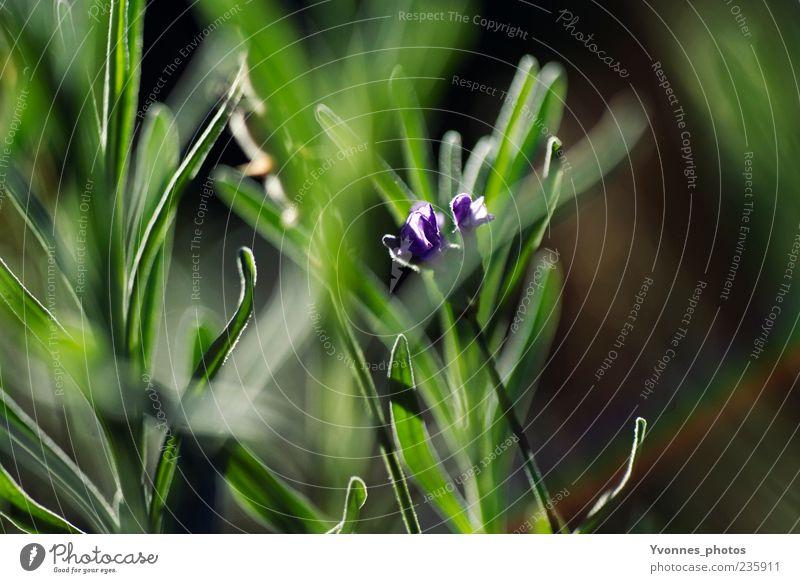 Grasgeflüster Umwelt Natur Pflanze Frühling Sommer Blume Blatt Blüte Grünpflanze Wildpflanze Wachstum frisch grün violett Farbfoto Außenaufnahme Morgen Tag