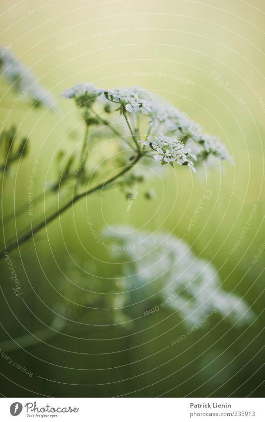 fresh feeling Umwelt Natur Pflanze Sonnenlicht Blume Blüte Wildpflanze ästhetisch frisch positiv schön wild weich grün weiß Stimmung Duft Doldenblüte
