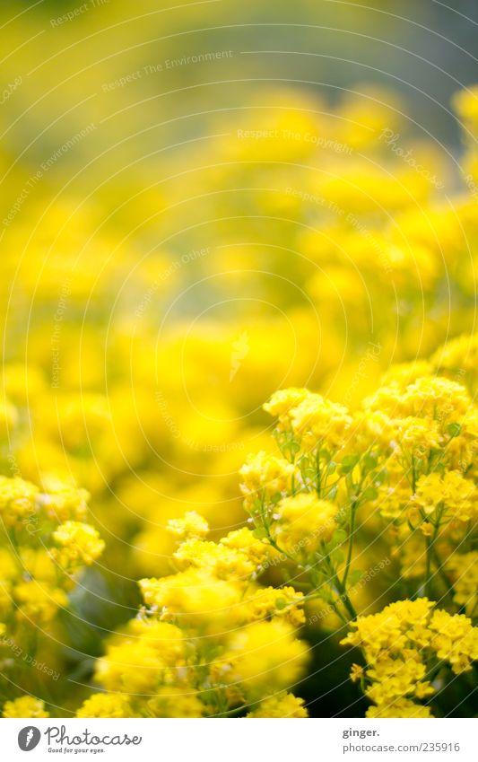 Ein Viertel Tausend - Motivation Natur Pflanze Frühling Blume Blüte schön gelb viele Menschenleer Unschärfe Textfreiraum Blühend Farbfoto Außenaufnahme