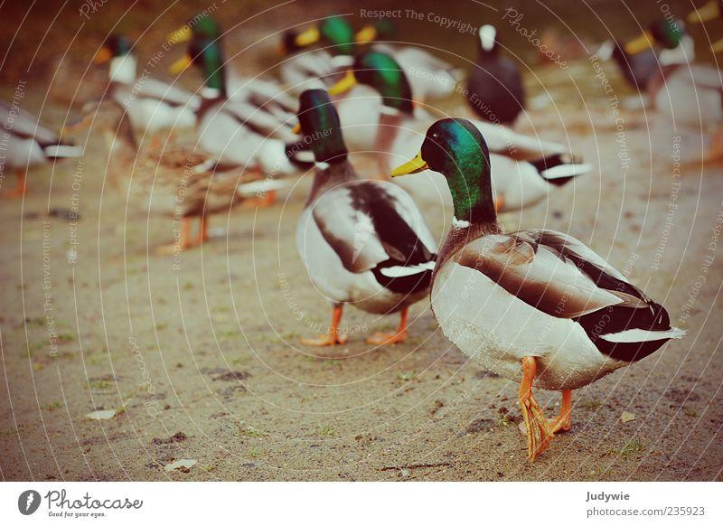 Entenrennen Umwelt Natur Tier Wildtier Stockente Erpel Feder Tiergruppe Bewegung laufen Farbe gehen Vogel Farbfoto Außenaufnahme Menschenleer Textfreiraum links