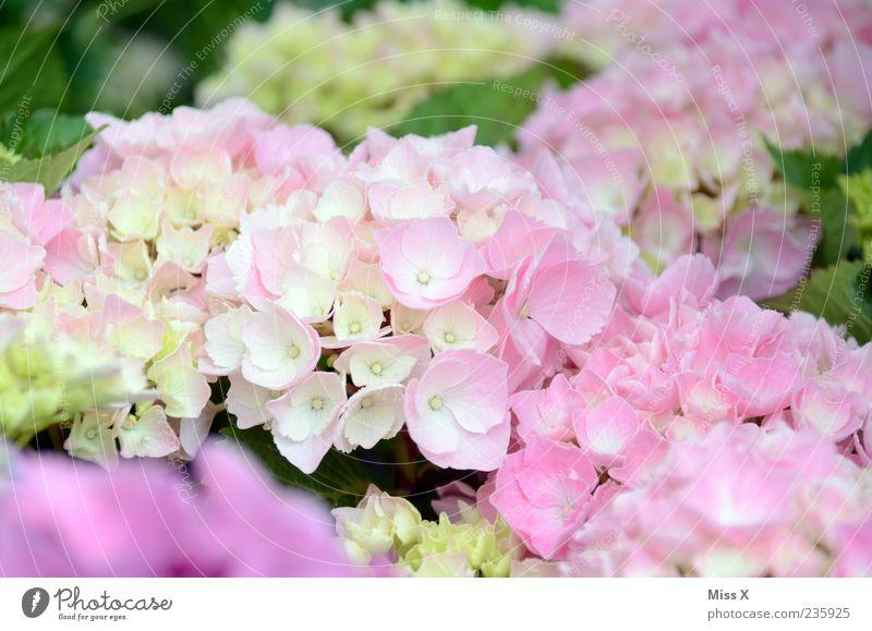 Hortensie Natur Pflanze Frühling Sommer Blume Blüte Blühend Duft Hortensienblüte Gartenpflanzen rosa zart Farbfoto mehrfarbig Nahaufnahme Menschenleer