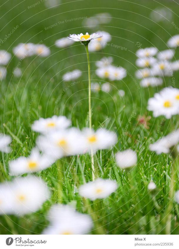 ein langes Gänseblümchen Natur Pflanze Frühling Sommer Blume Gras Blatt Blüte Wiese Blühend Wachstum groß grün weiß Farbfoto mehrfarbig Außenaufnahme