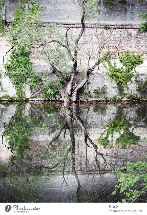 Y G G D R A S I L Natur Wasser Baum Flussufer Teich See Bach Mauer Wand dehydrieren Wachstum dunkel gruselig Yggdrasil Zweige u. Äste Wasserspiegelung