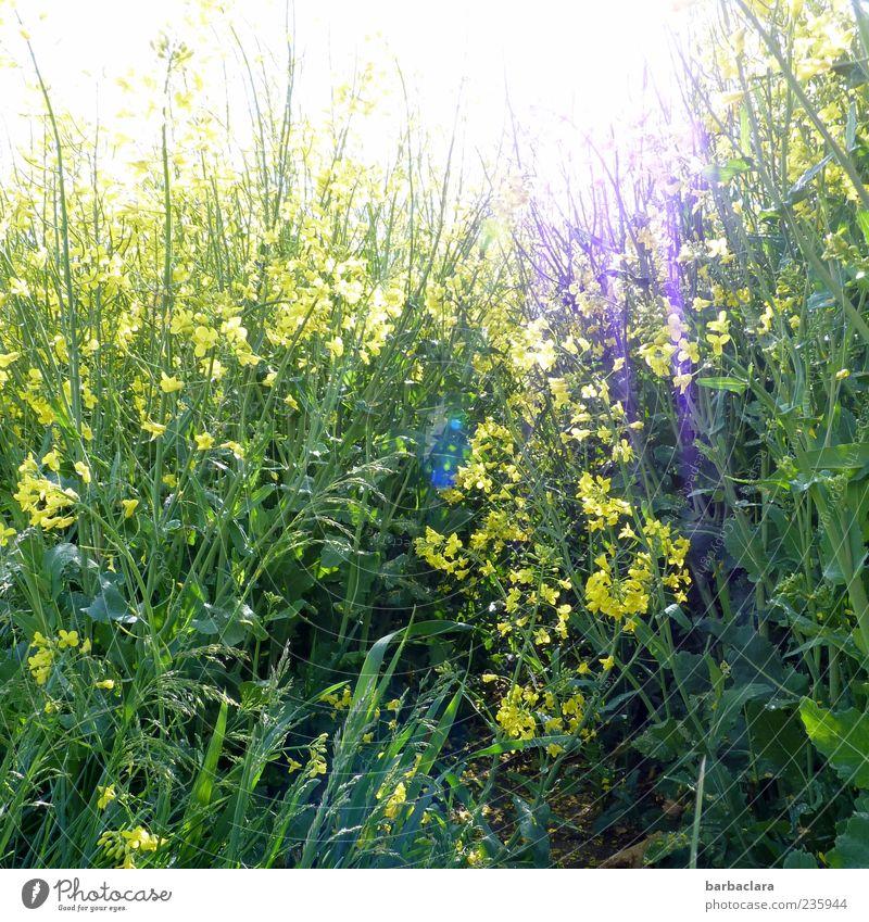 Sonne im Raps Frühling Blume Nutzpflanze Feld Blühend leuchten Wachstum hell natürlich wild gelb grün Natur Farbfoto Außenaufnahme Tag Sonnenlicht Menschenleer
