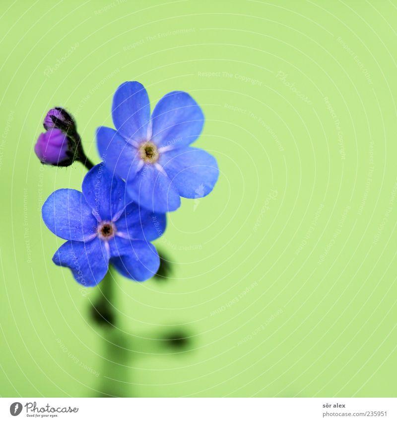 blaue Blüten Natur Pflanze grün schön Blume Blatt Frühling natürlich Hintergrundbild Blühend Kitsch Duft Blütenknospen Stillleben