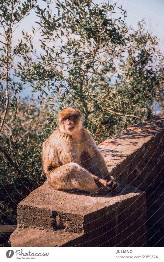 Affe sitzt an der Wand Lifestyle Sommer Abenteuer Tier Freiheit Erinnerung Gedächtnis Natur natürlich Außenaufnahme Ferien & Urlaub & Reisen wild