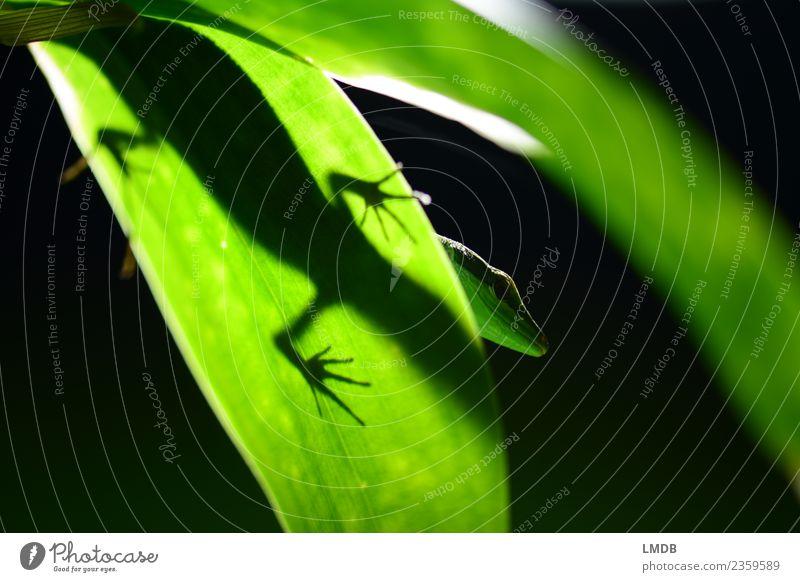 *Gecko *Ganz *Grün grün Tier Blatt dunkel schwarz Tierfuß Wildtier beobachten Pause exotisch unten verstecken Urwald Zoo tropisch Grünpflanze