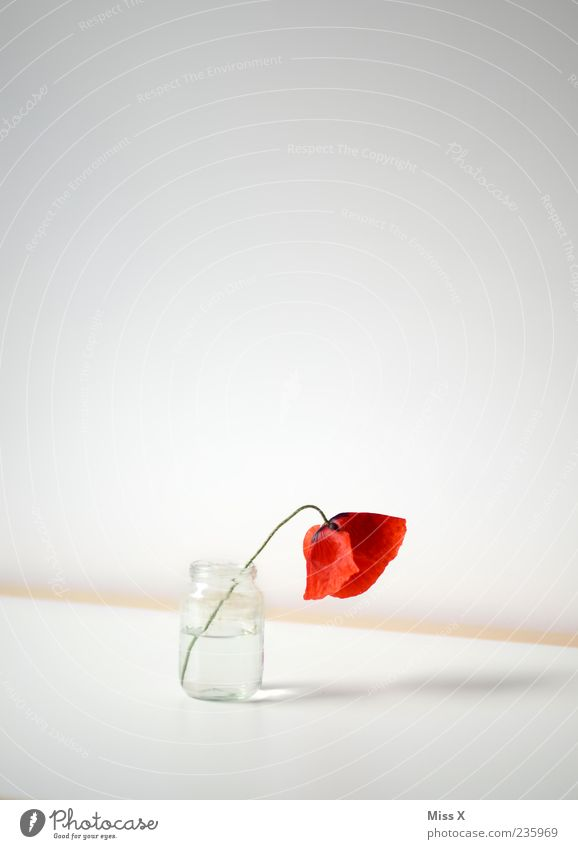 einsam Dekoration & Verzierung Blume Blüte Blühend Duft verblüht dehydrieren einfach rot Traurigkeit Trauer Einsamkeit Erschöpfung Mohnblüte Wasserglas Vase