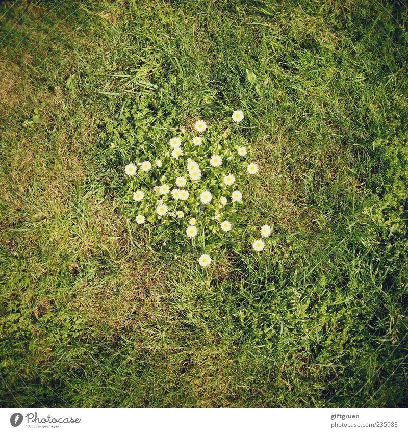 meeting point Umwelt Natur Pflanze Erde Frühling Sommer Blume Gras Blatt Blüte Grünpflanze Garten Wiese Blühend Wachstum Gänseblümchen Blütenpflanze Rasen