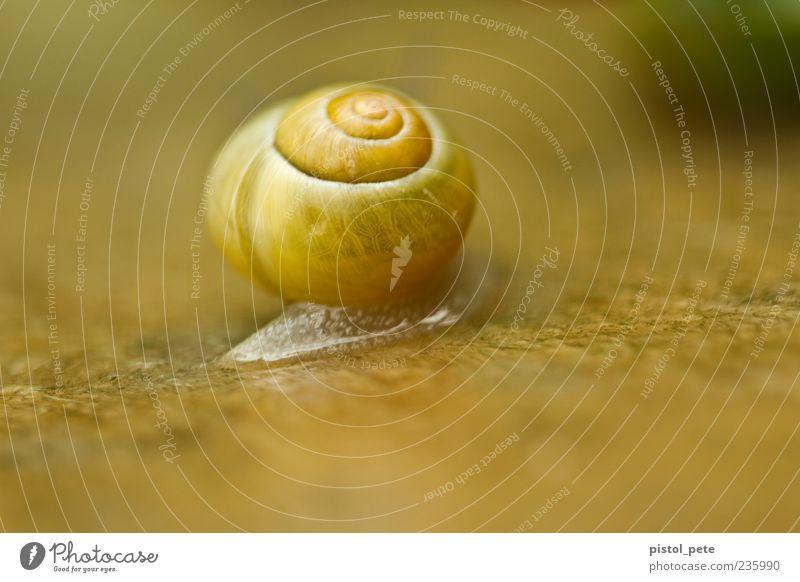 Umzug Natur Tier Schnecke 1 schleimig weich braun gelb Farbfoto Außenaufnahme Nahaufnahme Makroaufnahme Menschenleer Licht Sonnenlicht Schwache Tiefenschärfe