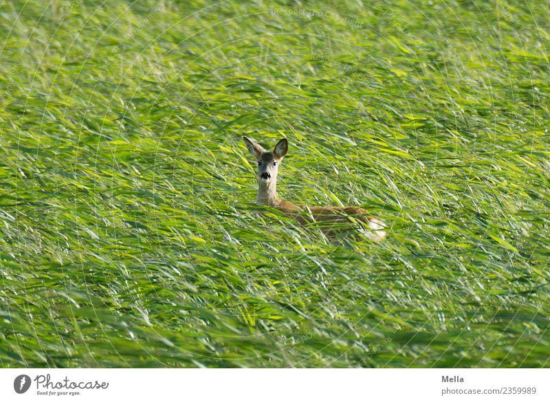Reh! Natur Sommer grün Tier Umwelt natürlich Wiese Gras Freiheit wild frei Feld Wildtier stehen Wind Wachsamkeit