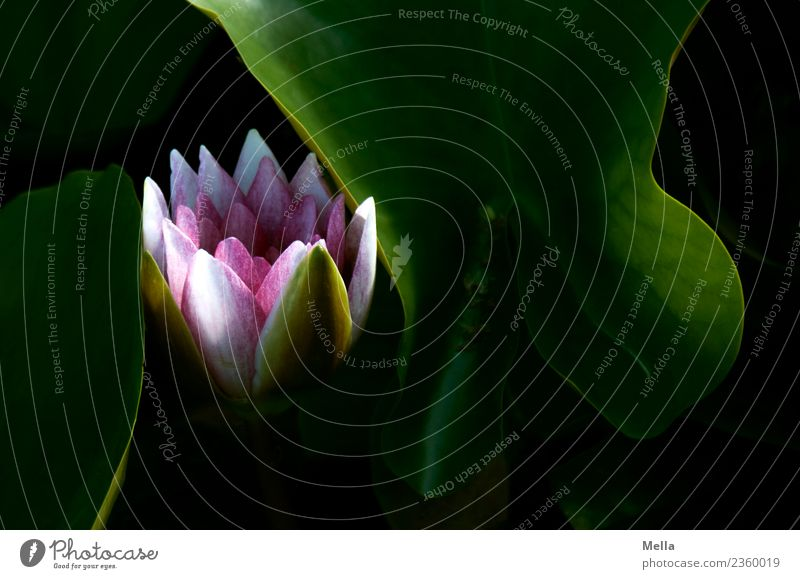Versteckt Natur Pflanze schön Blume Blatt Umwelt Blüte natürlich See Stimmung Wachstum ästhetisch Blühend Vergänglichkeit Teich Seerosen