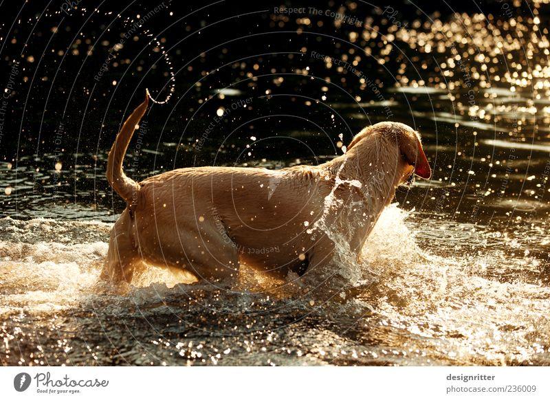 Goldene Tage Wasser Wassertropfen Sonnenaufgang Sonnenuntergang Wellen Flussufer Teich See Bach Tier Haustier Hund Labrador 1 Schwimmen & Baden Spielen springen
