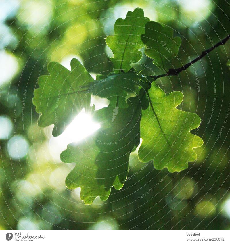 sunday morning déjà vu Umwelt Natur Landschaft Tier Sonne Frühling Wildpflanze natürlich grün Morgen Eiche Blätterdach Blatt blenden Farbfoto Außenaufnahme