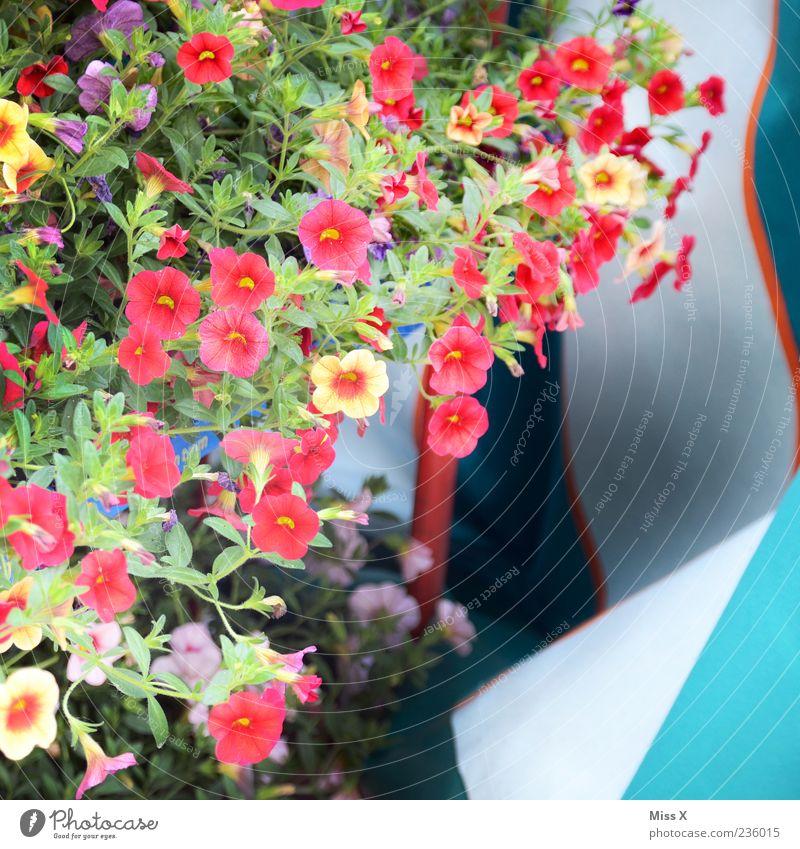 Bunte Blümchen Pflanze Blume Blatt Blüte Topfpflanze Blühend Duft Wachstum mehrfarbig Balkonpflanze Balkondekoration Farbfoto Außenaufnahme Menschenleer