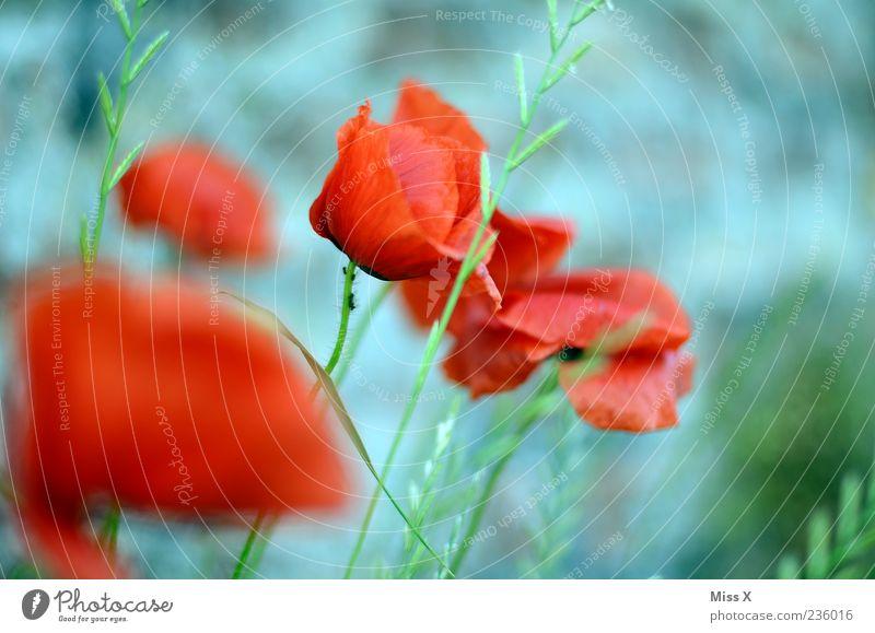 Mohn mit Ameise Natur Blume Pflanze rot Sommer Blatt Wiese Blüte Gras Frühling Garten Blühend Duft verblüht Mohnblüte