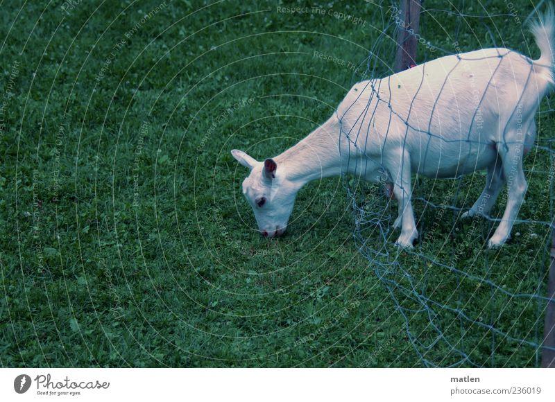 menschlich Haustier 1 Tier Wiese Gedeckte Farben Außenaufnahme Textfreiraum links Tag Nutztier Ziegen Weide Fressen Gras Zaun Barriere Netz frech abgelegen