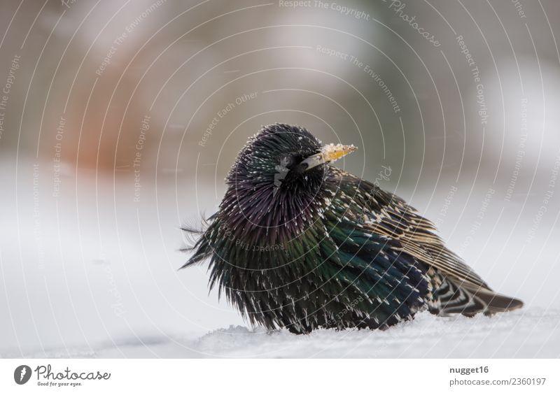 Star im Schnee Umwelt Natur Tier Frühling Herbst Winter Schönes Wetter Eis Frost Schneefall Garten Park Wiese Feld Wald Wildtier Vogel Tiergesicht Flügel