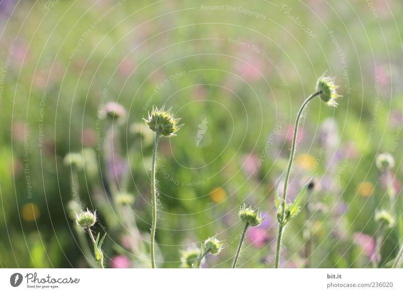Summer Field Natur Ferien & Urlaub & Reisen Pflanze grün Sommer Blume Wiese Gras Frühling Blüte natürlich Glück Feste & Feiern Feld wild Geburtstag