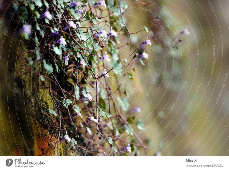 Mauerblümchen Natur Pflanze Sommer Blume Blatt dunkel Wand Frühling klein Blüte Wachstum Sträucher zart Blühend Duft