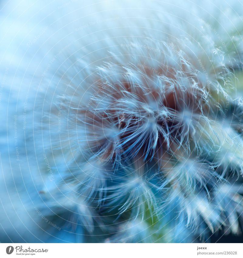 Abflugbereit Natur blau weiß grün Pflanze weich Löwenzahn Textfreiraum Wildpflanze Makroaufnahme