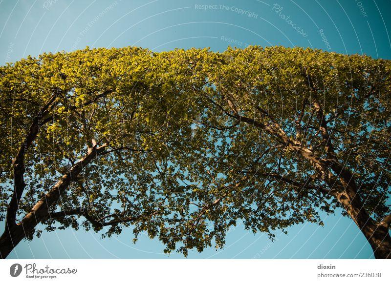Die Bäume auf den elysischen Feldern Umwelt Natur Pflanze Luft Himmel Wolkenloser Himmel Sonnenlicht Klima Schönes Wetter Baum Baumstamm Ast Wachstum hell hoch