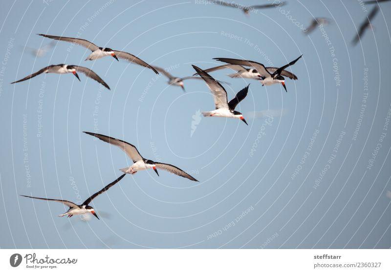 Schwarm von schwarzen Abschäumerseeschwalben Rynchops niger Strand Meer Natur Sand Urwald Küste Tier Wildtier Vogel fliegen blau rot weiß