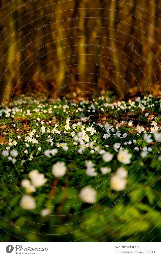 Frühling Natur Baum Blume Wildpflanze Buschwindröschen Wald Erholung schön ruhig Farbfoto mehrfarbig Außenaufnahme Unschärfe Schwache Tiefenschärfe Wachstum