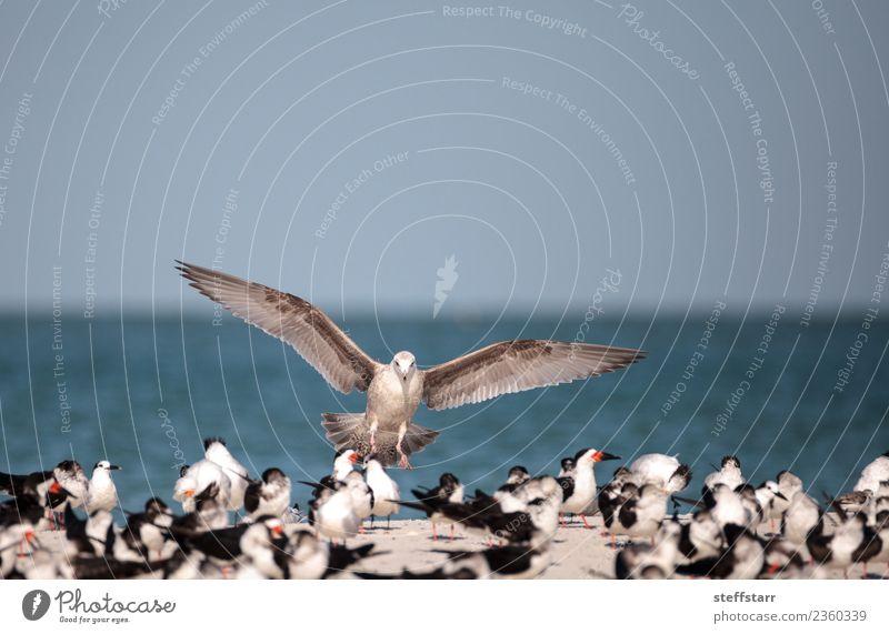 Heringsmöwe Larus argentatus am Strand Meer Natur Sand Urwald Küste Tier Wildtier Vogel Schwarm fliegen blau rot schwarz weiß Silbermöwe Löffler Rynchops niger