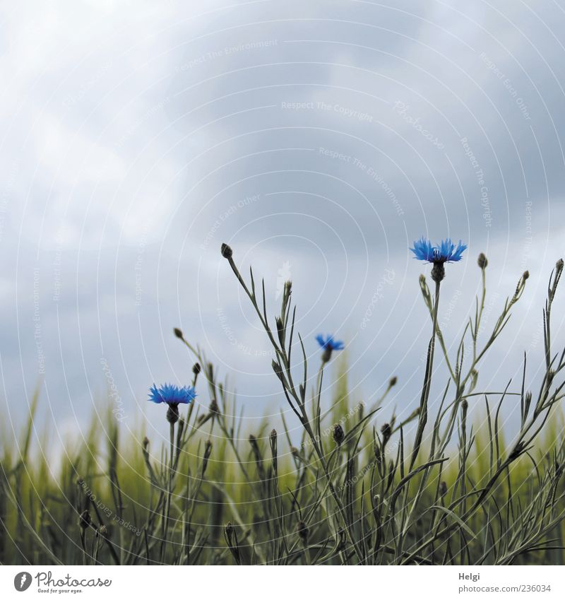 es wird Regen geben... Umwelt Natur Landschaft Pflanze Himmel Wolken Gewitterwolken Frühling Blume Grünpflanze Nutzpflanze Wildpflanze Kornblume Gerste Getreide