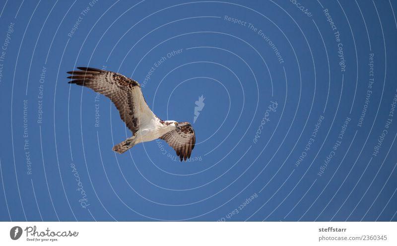 Fischadler Greifvogel Pandion haliaetus fliegend Strand Meer Natur Sand Urwald Küste Tier Wildtier Vogel 1 blau braun weiß Meeresvogel Seefahrer Seahawk Neapel
