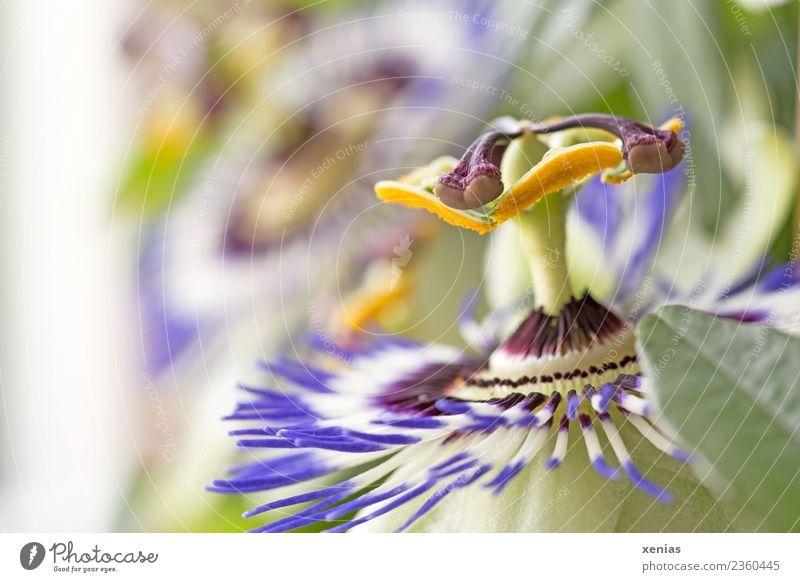 Passionsblume Blume Blüte Passionsblüte Blühend gelb grün violett Blütenblatt Kletterpflanzen Staubfäden Farbfoto Studioaufnahme Textfreiraum links